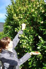 Erdbeerbaum Stecklinge winterharte immergrüne exotische Pflanzen für den Garten