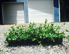 Asiatic Jasmine Minima Qty 180 Live Plants Asian Evergreen Groundcover