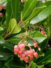Arbutus Unedo Strawberry Tree Shrub 3 Litre Pot