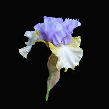 *** PARTY'S OVER ***  TALL BEARDED IRIS - LAVENDER / IVORY