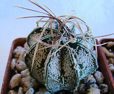 ASTROPHYTUM CAPRICORNE HYBRID CACTI 1-2 INCHES ON OWN ROOTS