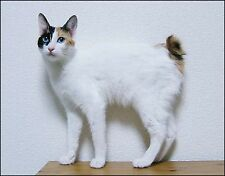 Metal Refrigerator Magnet Blue Eyed Japanese Bobtail Cat Cats White Black
