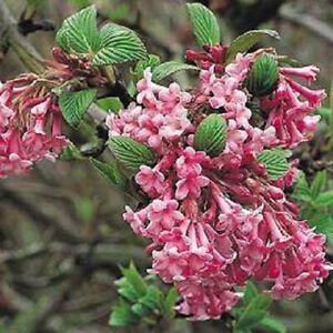 1x Viburnum Bodnantense Dawn Shrub, Winter Flowering Pink Fragrant Plant