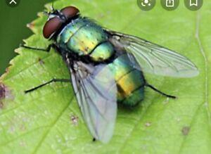 Green Bottle Fly Pupae, Castors, Feeders, Live Food X 150