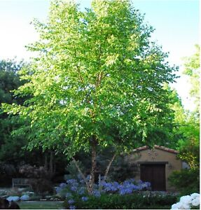 """River Birch 10 Cuttings Unrooted Easy Fun Great Deal! (4""""-8"""") Inches."""