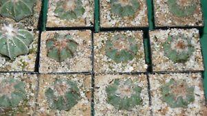 Kakteen Kaktus Aztekium ritterii Samen Seeds No Plants Astrophytum Myrostigma