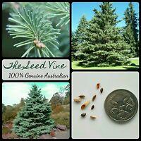 50+ WHITE SPRUCE SEEDS (Picea glauca) BONSAI Conifer Evergreen Ornamental