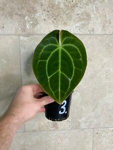 "Anthurium Crystallinum X Forgetii ""Very Rare Velvet leaf Aroid"""