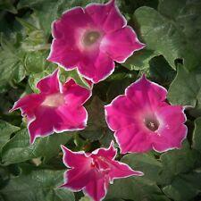 Red Picotee Morning Glory Seeds Rose Flowering Climbing Vine Ipomoea Nil Usa