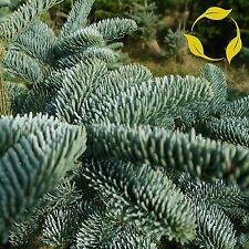 NOBLE FIR Abies Nobilis Procera - 20+ SEEDS