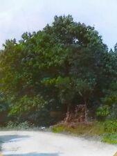 Chestnut Tree, Washington DC, Magic Lantern Glass Slide (US Forest Service)