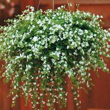 Bacopa - Snowtopia - 5 Seeds