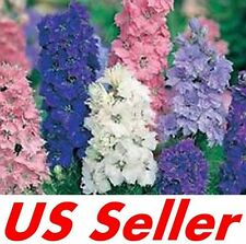 40 PCS DWARF HYACINTH AJACIS LARKSPUR  SEEDS G32, Mixed Colors EARLY BLOOMING