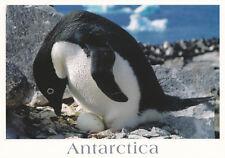 Ansichtskarte Antarktis: Adelie Pinguin mit Ei  - Adelie penguin incubating egg
