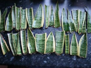 SANSEVIERIA/ 'MOTHER-IN-LAWS-TONGUE/SNAKE PLANT. 3 ROOTED LEAF CUTTINGS.