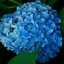 Nikko Blue Hydrangea - Established Rooted Perennial - 1 Plant in 1 Gallon Pot