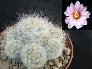 Mammillaria Glassii Ascensionis 5.8cm flowering size collectors Mexican cactus