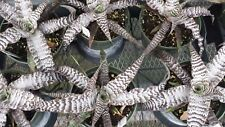 Bromeliad Cryptanthus Absolute Zero Exotic Tropical Plant