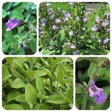 Echter Salbei Salvia officinalis Arzneisalbei Räuchersalbei Heilpflanze Gewürz