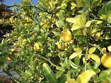 Frische Orangen ernten! Winterfester, sukkulenter Orangenbaum Poncirius, Saatgut