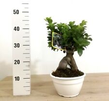 Altezza 35cm Bonsai Ficus Ginseng Vaso in Terracotta