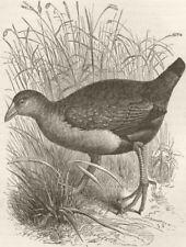 BIRDS. Mortier water-hen 1895 old antique vintage print picture