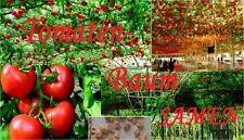 25x Tomaten Samen kletter Tomaten Baum Pflanze Rarität Tomate essbar lecker #98
