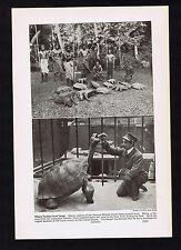 Giant Turtles & Tortoise-Samoan Islands - 1937 Image of History