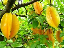 Starfruit Carambola star fruit1 live  plant 1 feet  height with polly pack,O-304