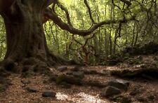1 PIANTA di Quercus ilex 30-60cm quercia da sughero