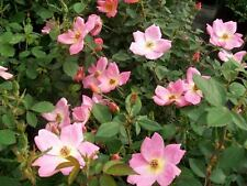 Rainbow Knock Out Rose 3 Gal. Live Bush Plants Bushes Plant Patented Roses Home