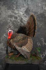 Sku 1603 Eastern Turkey Taxidermy Full Strut Mount Outstanding