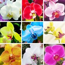 100 Orchid Flower Seeds 25 Colors Rare Beautiful Plant Decoration in Home Garden