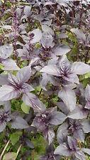 Semillas Albahaca Púrpura (Red Rubin) seeds