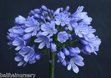 3 Agapanthus Isis dark blue flowers excellent garden plant