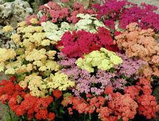 5 Achillea x millefolium 'Colorado' Mixed Plug Plants Hardy Rockery Perennial