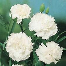 Carnation Flower Seeds - White - Bulk
