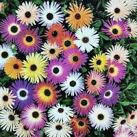 ARCTOTIS SEED HARLEQUIN MIX MIXED COLOURS HARDY EASY TO GROW FLOWERING 30 SEEDS