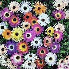 ARCTOTIS SEED HARLEQUIN MIX MIXED COLOURS HARDY FLOWERING BULK 120 SEEDS