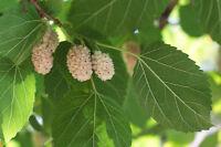 eine tolle Frucht - ist winterhart und pflegeleicht: die schöne, weiße Maulbeere