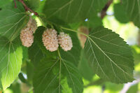 ** Garten Pflanzen Samen winterharte Zierpflanze Saatgut Obst WEISSE MAULBEERE