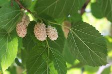 Exot Garten Pflanzen Samen winterharte Zierpflanze Saatgut Obst WEISSE MAULBEERE