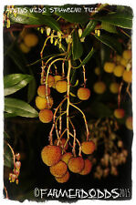 Arbutus unedo 'Strawberry Tree' 25 SEEDS