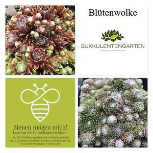 "Sempervivum Rosetten Hauswurz Dachwurz Staude Pflanze Winterhart ""Blütenwolke"""
