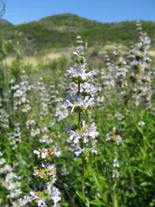 Black Sage (Salvia mellifera) Seed Pack -Over 100 Seeds-