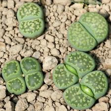 Lithops salicola 'Malachite' 20 seeds