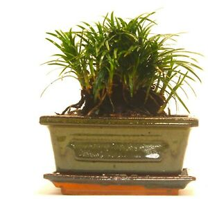 Dwarf Mondo Grass (Ophiogon Japonica) - supplied with ceramic pot and drip tray