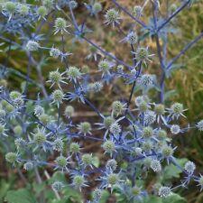 Eryngium - Planum - 300 Seeds