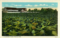 Postcard A Lancaster County Tobacco Field