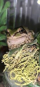Live Frog Captive Bred Read Description